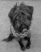 Freddy Halamandres - Head Of Security at All Terrain Mobility!  Freddy is a small black puggapoo dog who is very cuddly!